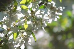 Грушевое дерев дерево цветения Стоковое Изображение