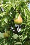 грушевое дерев дерево Стоковая Фотография