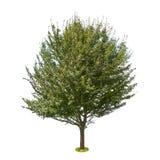 Грушевое дерев дерево изолированное на белой предпосылке Стоковые Фото