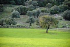 Грушевое дерев дерево Стоковые Изображения RF