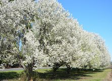 Грушевые дерев дерев в ряд стоковая фотография
