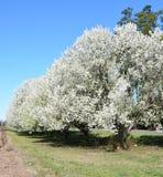 Грушевые дерев дерев на весенний день стоковая фотография