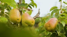Грушевые дерев дерев на деревне обрабатывают землю около частного дома, органического плодоовощ, вегетарианской еды акции видеоматериалы