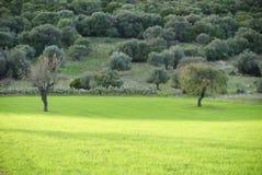грушевые дерев дерев Стоковое фото RF