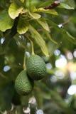Груши авокадоа растя на дереве Стоковые Изображения