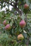 Груши вися на ветви дерева в лете сада Стоковые Фото