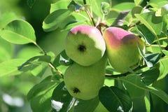 3 груши вися на ветви дерева в саде Сельская предпосылка Стоковые Фотографии RF