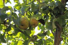 2 груши в дереве в солнечном дне Стоковые Изображения RF