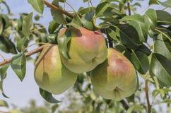 Груши зреют на дереве Стоковое Фото