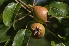 Груши зрея на дереве Стоковые Фото