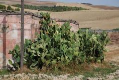 груши кактуса шиповатые Стоковое Фото