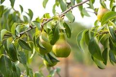 Груши на ветви дерева в саде Стоковое Фото