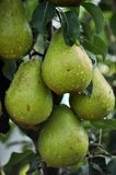 Груши на ветви дерева Стоковое Фото