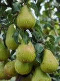 Груши на ветви дерева Стоковые Изображения RF