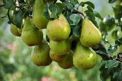 Груши на ветви дерева Стоковое Изображение