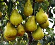 Груши на ветви дерева Стоковые Изображения