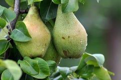 Груши на ветви дерева Стоковое Изображение RF