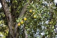 Груши на ветви дерева Стоковая Фотография