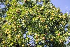 Груши на ветви дерева Стоковая Фотография RF