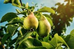 Груши на ветви, незрелая зеленая груша, грушевое дерев дерево, вкусная молодая груша h Стоковое Изображение