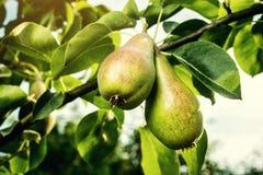 Груши на ветви, незрелая зеленая груша, грушевое дерев дерево, вкусная молодая груша h Стоковое фото RF