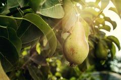 Груши на ветви, незрелая зеленая груша, грушевое дерев дерево, вкусная молодая груша h Стоковые Изображения RF