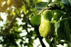 Груши на ветви, незрелая зеленая груша, грушевое дерев дерево, вкусная молодая груша h Стоковые Фотографии RF