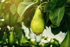 Груши на ветви, незрелая зеленая груша, грушевое дерев дерево, вкусная молодая груша h Стоковое Фото
