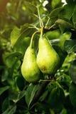 Груши на ветви, незрелая зеленая груша, грушевое дерев дерево, вкусная молодая груша h Стоковые Фото