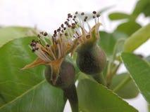 Груши на грушевом дерев дереве Стоковые Фото