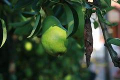Груши на дереве готовом для сбора Стоковые Изображения RF
