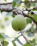 Груши на дереве в природе Стоковое Изображение