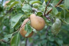 Груши на дереве в плодоовощ садовничают Стоковое фото RF