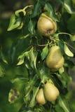 Груши на дереве, деталь растущего плодоовощ Стоковая Фотография