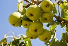 Груши на дереве как символ жизни страны Стоковые Изображения RF