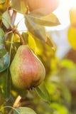 Груши на дереве с солнечностью Стоковое Фото