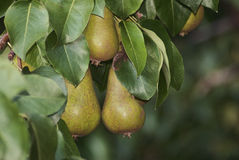 Груши на дереве Стоковая Фотография