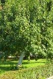 Груши на крупном плане ветви дерева. Стоковое Изображение