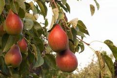 Груши посещения к ветви дерева Стоковое Изображение RF