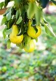 Груши растя на ветви с зелеными листьями в outdoo сада Стоковые Фото