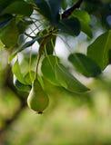 Груши растя на ветви с зелеными листьями в outdoo сада Стоковое Фото