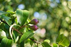 Груши растя на ветви с зелеными листьями в outdoo сада Стоковая Фотография
