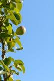Груши растя на дереве Стоковые Фото