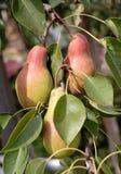 груши сада Стоковое Изображение RF