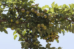 Груши сорта растения груши зрелые органические в фото сада лета Стоковое Изображение
