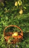 груши травы ветви корзины Стоковые Изображения