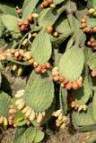 груши шиповатые Стоковые Фотографии RF