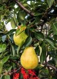 Груши Williams Христоса на дереве Стоковое Фото