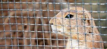 Грызун заботливый в тюрьме Стоковая Фотография