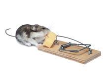 грызун прикормом предпосылки идя к белизне Стоковое Изображение RF